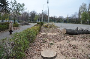 Răzvan Burleanu a tăiat trei stejari în parcul pe care l-a concesionat în Ploiești Sursa: RISE Project