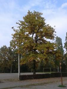 13. stejar taiat, panoramio