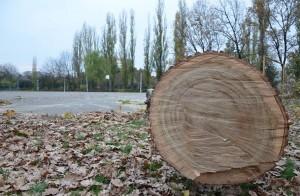 Stejar tăiat din parcul ploieștean, la cererea lui Burleanu / FOTO: Salvați Parcul Andrei Mureșanu!